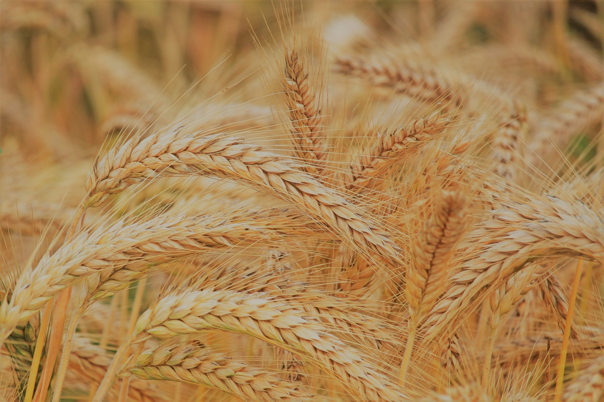 Why we don't eat wheat